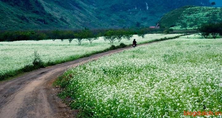 cánh đồng hoa cải ở mộc châu