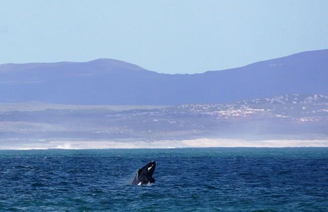 Hermanus whale