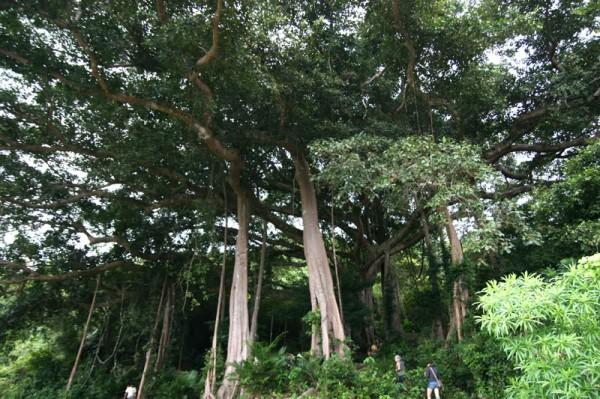 cây đa nghìn năm Đà Nẵng