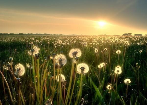 cánh đồng hoa bồ công anh ở đà lạt