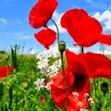 Những loài hoa Đà Lạt chỉ được ngắm, cấm sờ