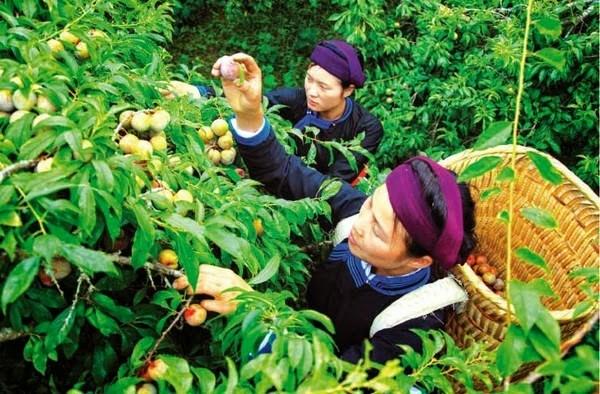 Đeo gùi lên và bắt đầu hái những trái mận má hồng sẽ là trải nghiệm thú vị khi đến Mộc Châu
