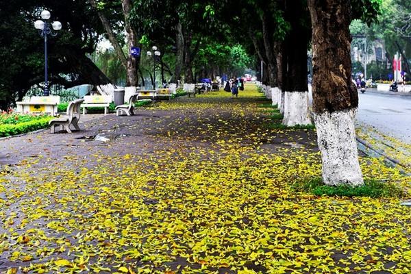 Lòng đường, vỉa hè đều bị sắc vàng của lá chiếm hữu