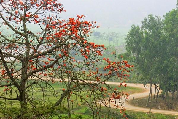 Hoa gạo đỏ rực chùa Trầm