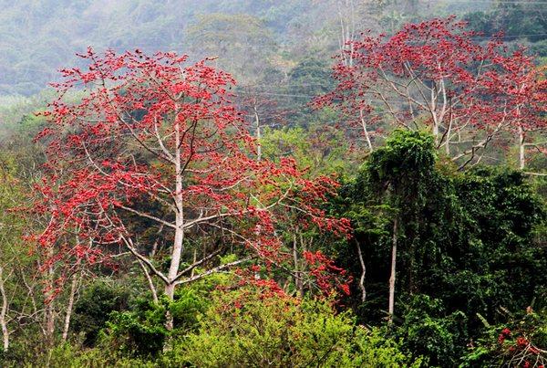 Hoa gạo rộ đỏ trên núi rừng Tây Bắc
