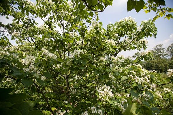Trẩu nở trắng xóa các vòm cây