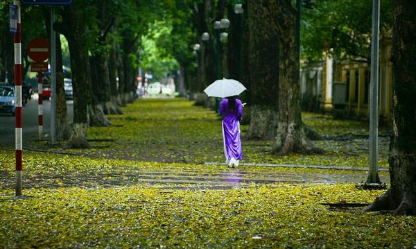 Nhưng đẹp và thơ nhất Hà Nội những ngày này bạn phải tìm đường Phan Đình Phùng quen thuộc. Với 2 hàng sấu cổ thụ ven đường, cả nơi đây sẽ chìm trong sắc vàng của lá.