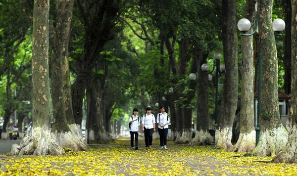 Sấu nhuộm vàng những con đường Hà Nội tháng 4