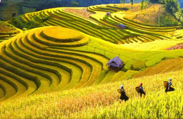 Ruộng bậc thang rực rỡ mùa vàng