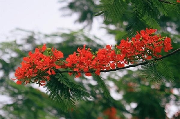 hoa-phuong-2