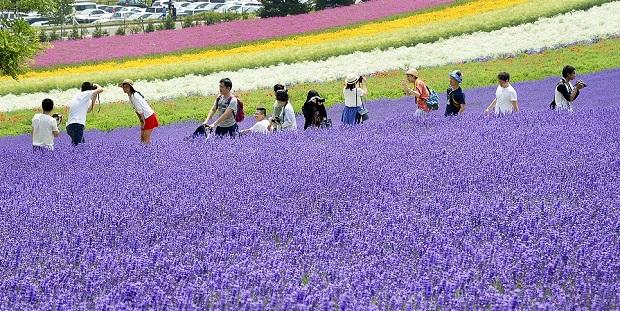 Cánh đồng hoa Lavender Furano